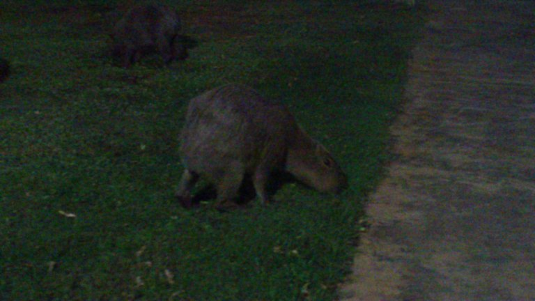 Capybara at Dines Resort, Isla Margarita